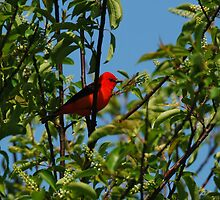 Scarlet Tanager by BillCarlson
