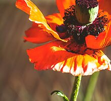Poppy Love by ghd-photography