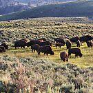 Buffalo Herd in Yellowstone NP  by Teresa Zieba
