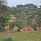 Impala Herd in South Africa by Rod Hawk
