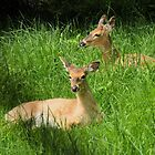 Two Deer with tall Grass by Rosalie Scanlon