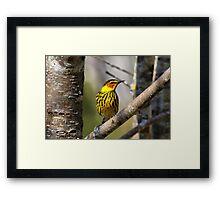 Cape May Warbler 2 Framed Print