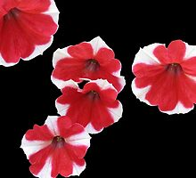 Red and White Petunias by SunriseRose