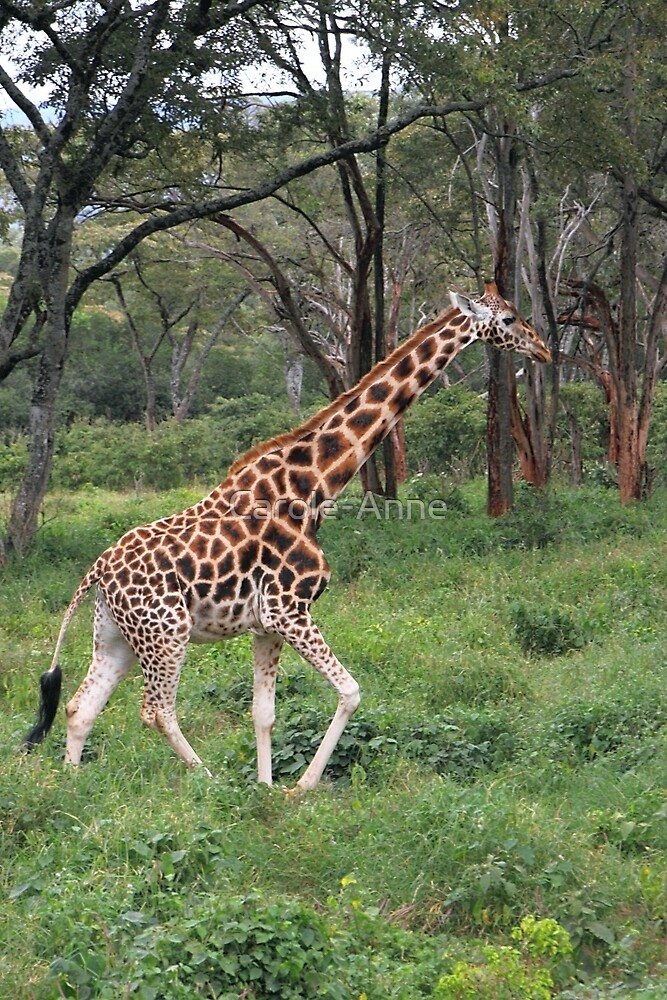 Rothschild's Giraffe In The Bush, Kenya by Carole-Anne