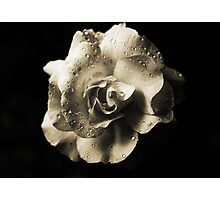 Rain Drops On A Rose -Sepia- Photographic Print
