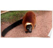 Sheila was a shy Lemur Poster