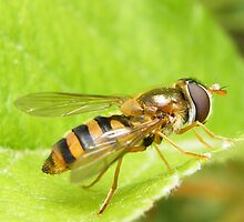 Syrphid fly by Yool
