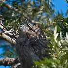 Frogmouth stretching in the sun by paulmcardle