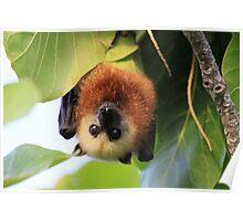 Aldabra Fruit Bat Poster