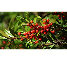 American Holly Berries Photographic Print