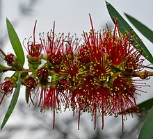 bottlebrush by gary roberts