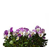 Violas border Photographic Print