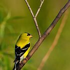 American Goldfinch Male by Jessica Dzupina