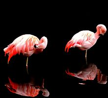 Flamingo Duo by Barnbk02