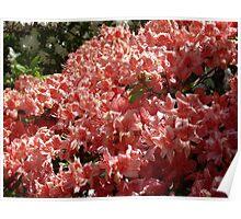 Azaleas at the Kinney Garden - © May 2010 Poster