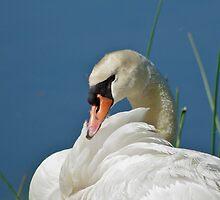 Mute Swan Preening by Jessica Dzupina