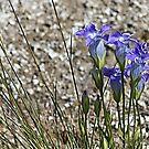 Rocky Mountain Blue Fringed Gentian by Teresa Zieba