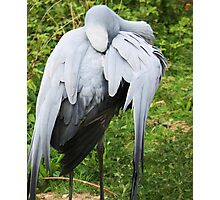 Blue Crane  Photographic Print