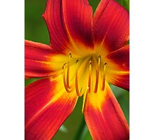 Lily in My Garden Photographic Print