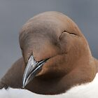 guillemot: SHH! don't wake him..... by Grandalf