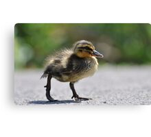 Chick on the war path Canvas Print