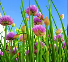 Chive flowers on a sunny day by JoAnnFineArt