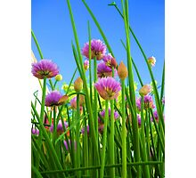 Chive flowers on a sunny day Photographic Print