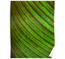 canna lily leaf Poster