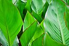 canna lily leaf by gary roberts