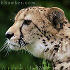 Cheetah 01 by Alannah Hawker