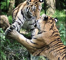 Tiger 15 by Alannah Hawker
