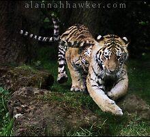 Tiger 17 by Alannah Hawker