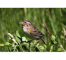 Grasshopper Sparrow Photographic Print