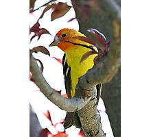 Western Tanager 1 Photographic Print