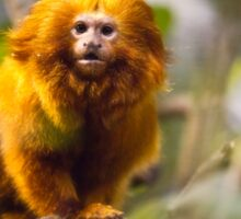 Golden Lion Tamarin Sticker