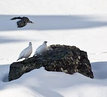 two ptarmigans by sergeylukianov