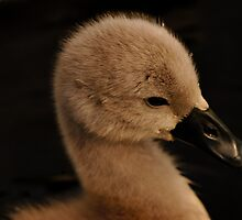 Swan - Cygnet - Cute by delros
