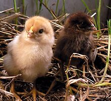 New Life - Day Old Isa Brown and Australorp Cross Golden laced Wing Wayandotte by michelle roseman
