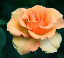 Sunstruck Hybrid Tea Rose by Robert Armendariz