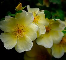 Yellow wild Rose by Karen  Betts