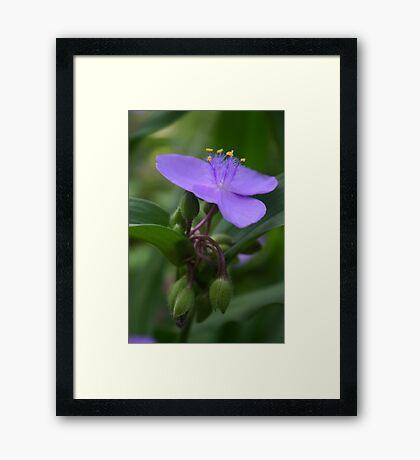 spiderwort closeup Framed Print