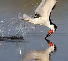 Black Skimmer by Janet Fikar