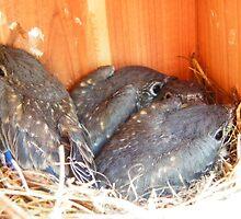 Baby Eastern Bluebirds @ 16 Days Old by Judy Wanamaker