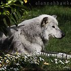 Canadian timber wolf 02 by Alannah Hawker