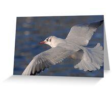 Black Headed Gull inflight Greeting Card