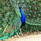 Peacock  by Caroline Anderson