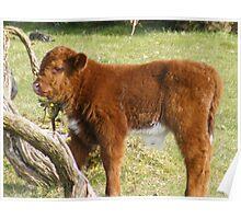wild calf Poster
