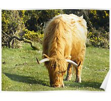 Longhorn Wild Cow on Bodmin Moor Poster