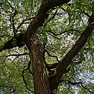 Elm Tree on 20th Street by Barbara Wyeth