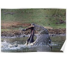Feeding Marsh Croccodile Poster